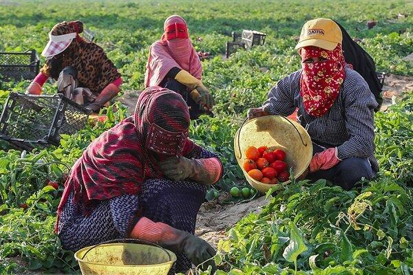 برداشت ۳۵ درصد محصول گوجهفرنگی خارج از فصل در استان بوشهر