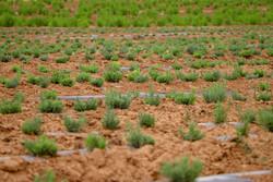پیش بینی افزایش ۳۰۰ هکتاری سطح زیر کشت گیاهان دارویی در مرکزی