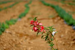 ایجاد باراندازهای کشاورزی و تضمین خرید محصولات ضروری است