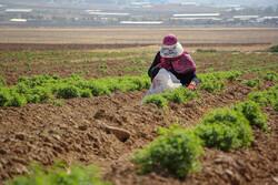 اجرای طرح توسعه باغات و گیاهان دارویی در ۲۵۳هکتار از اراضی قزوین