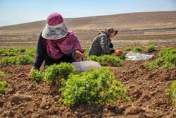 راهاندازی ۶ سایت کشت گیاهان دارویی ویژه زنان روستایی استان قزوین