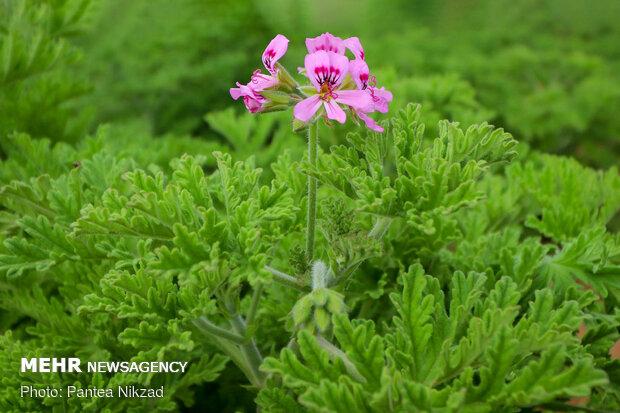 Iranian medicinal herbs