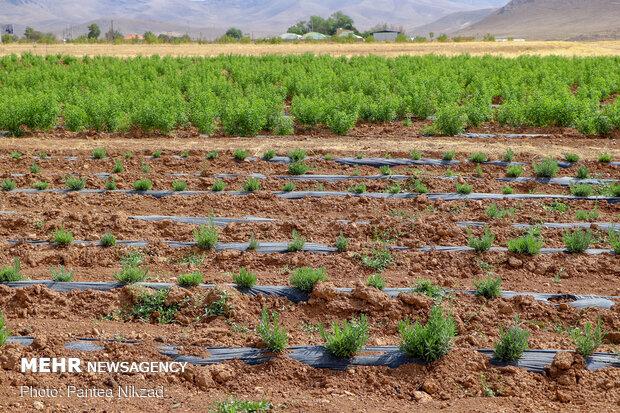 روشهای نوین پیش آگاهی آفات در بخش کشاورزیاستقرار می یابد