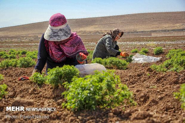 موانع کشت گیاهان دارویی در استان سمنان/ روستاها مشکل بازار دارند