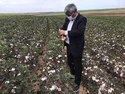 افزایش صددرصدی تولید طلای سفید در شهرستان اصلاندوز