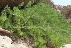 کَوَر به عنوان راه موثر جهت تقویت پوشش گیاهی در هرمزگان شناخته شد