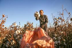 İran'da pamuk hasadı devam ediyor