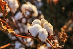 خسارت ۱۵ درصدی سرمای پاییزی به کشتزارهای پنبه تایباد