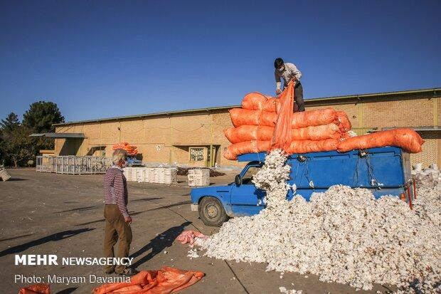 انتقال پنبه ها به کارخانه پنبه پاک کنی