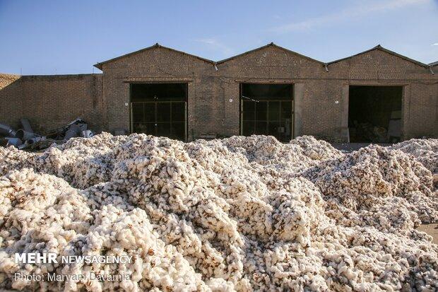 عیار پایین طلای سفید مانه و سملقان برای کشاورزTraditional cotton harvest in North Khorasan province