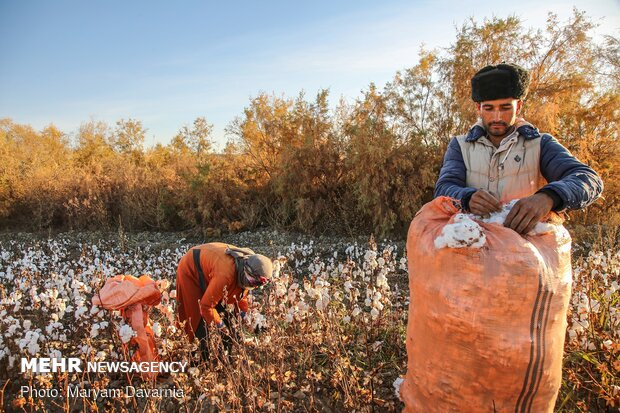 برداشت سنتی طلای سفید( پنبه) از مزارع مانه و سملقان خراسان شمالی