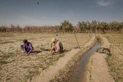 ایجاد مزارع الگو در دشت سیستان از سوی موسسه عمران و توسعه رضوی