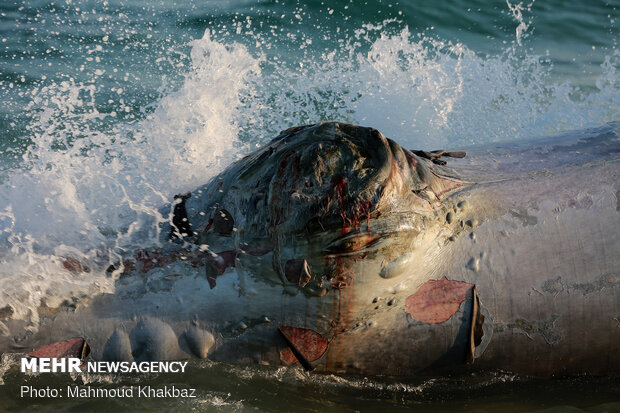 پیدا شدن لاشه نهنگ در سواحل کیش