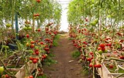 بذرهای هیبریدی زیر کشت انبوه می روند/ صادرات بذر به ترکیه