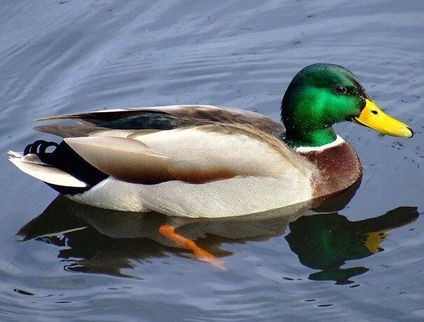 ورود اردک های سرسبز مهاجر به دریاچه چیتگر