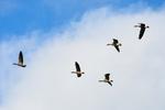 اراک کے میقان تالاب میں پرندوں میں انتہائی شدید انفلوئنزا کے پھیلنے کا خطرہ
