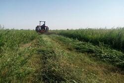 حنای کرمان برای کشاورزان رنگ ندارد/ سود کشاورزان کجا می رود؟