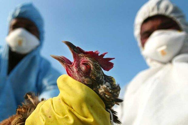 انتقاد رئیس سازمان دامپزشکی از پنهانکاری درباره شیوع آنفلوانزا