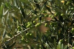 پیش بینی توسعه ۴ هزارهکتاری باغات زیتون در سال جاری