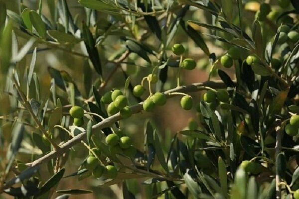 تولید ۱۲۰ هزار تن زیتون در کشور