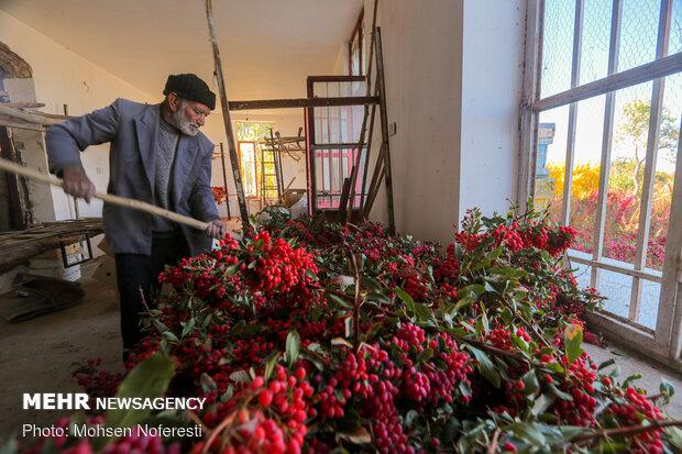 Barbery harvert in South Khorasan Province
