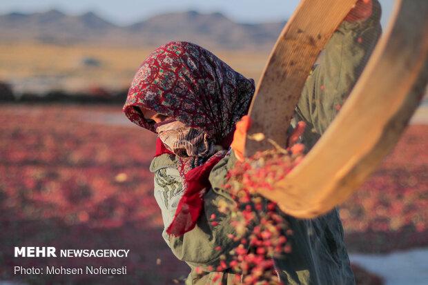 رونق تولید محصولات کم آببر در اردبیل/ممنوعیت خروج گندم از استان
