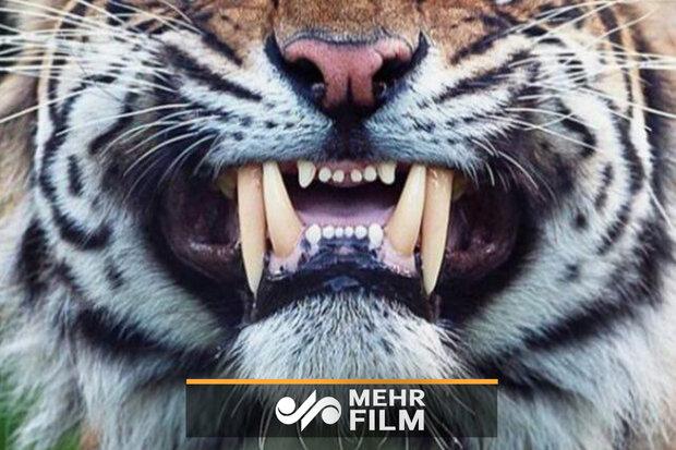 کشیدن دندان یک ببر با روشی دیوانهوار