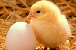 کشتار گسترده مرغها منجر به افزایش قیمت تخم مرغ شد/ به وزیر هشدار دادیم توجه نکرد