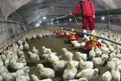 فعالیت ۴۰۰واحد مرغداری در استان سمنان/ تأمین نهاده مشکل اصلی