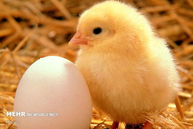 کاهش ۲۵درصدی تولید تخم مرغ/دولت در تهیه واکسن آنفلوانزا کمک کند,