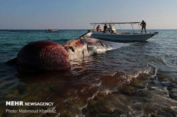 لاشه نهنگی دیگر در آبهای ساحلی کیش پیدا شد