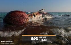 علت مرگ نهنگ غول پیکر در ساحل کیش