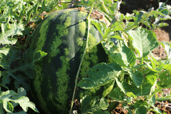 Harvesting watermelon from Hasht Bandi agricultural farms