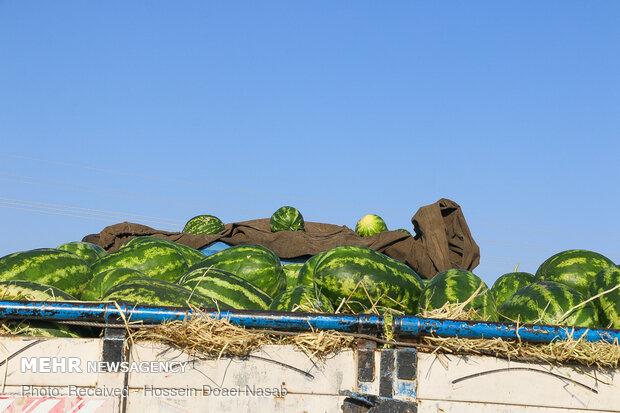 İran'da karpuz hasadı başladı