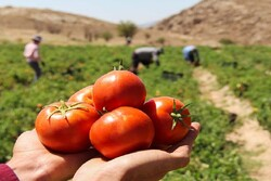شبپره مینوز سد راه صادرات و تولید محصولات سبزی و صیفی در هرمزگان