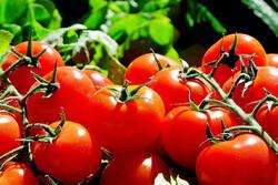 دستکاری روند رشد گوجه فرنگی برای اولین بار ممکن شد