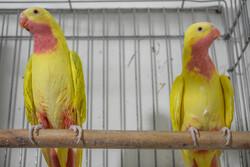 Erak'ta nadir papağan yetiştiriciliği