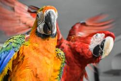 پرورش طوطی های نایاب جهان در اراک