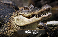 شواهد ضد و نقیض از وجود تمساح در دریاچه چیتگر !
