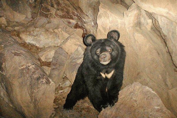رد پای خرس سیاه آسیایی در جنوب سیستان و بلوچستان دیده شد