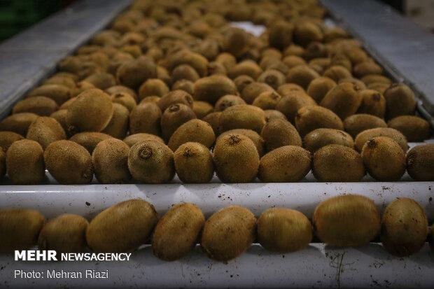 ایران چهارمین تولیدکننده کیوی جهان است