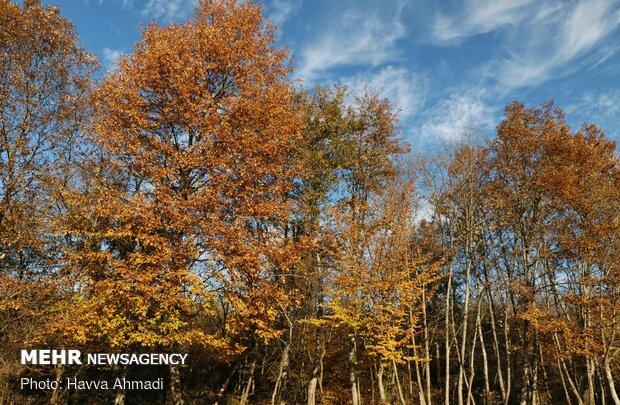 برگریزان پاییزی در تابستان/ گرما رنگ از رخسار درختان پراند!
