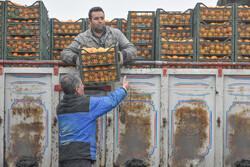 میوه شب عید تا پایان بهمن ماه در چهارمحال و بختیاری ذخیره سازی می شود