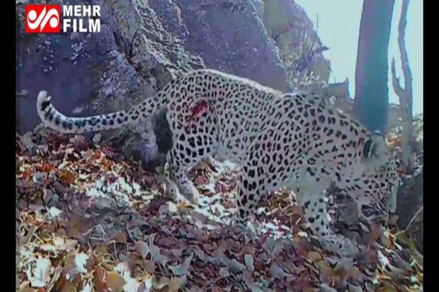 VIDEO: Persian leopards, boar observed in Dena National Park
