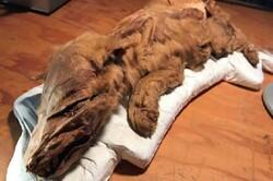 شناسایی فسیل سالم و کامل گرگ ۵۷ هزار ساله