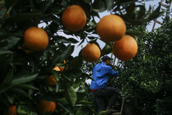 Citrus fruits harvest in Iran's Mazandaran province