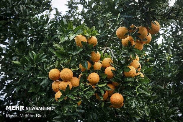 Citrus fruit harvest in Iran's Mazandaran province