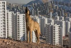 جولان سگها در پردیس و مردمِ سرگردان میان شهرداری و شرکت عمران