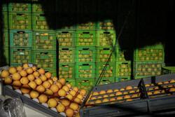 رشد ۱۰۰ درصدی صادرات مرکبات از مازندران
