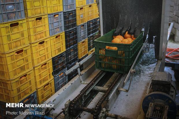 Citrus fruit sorting in Mazandaran
